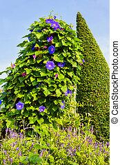 Purple Morning glory flower. - Purple flowers, Morning glory...