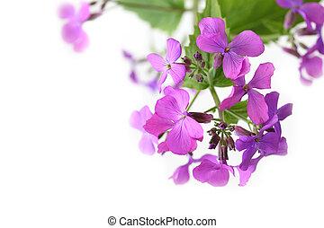 Purple Mustard Flowers