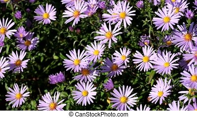 Purple New York aster. Daisy-like flowers with golden ...