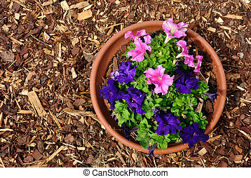 Purple nicotiana flowers and red mulch