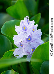 Purple of water hyacinth flowers