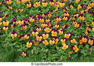 Purple-orange pansies
