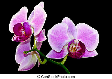 purple orchid branch on black background