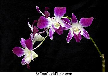 Purple orchid flower isolated on black
