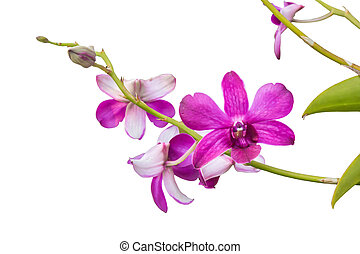 Purple orchid isolated