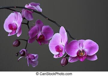 Purple Orchid Phalaenopsis Zen Flower