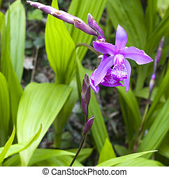 Purple orchid plant with buds in the wild
