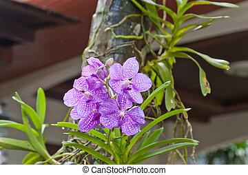 Purple Orchid, Vanda hybrids