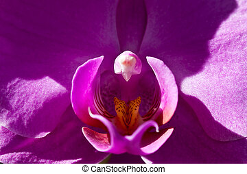 Purple orchidaceae or orchid flower in closeup
