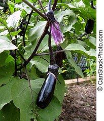 eggplant  - purple organic eggplant