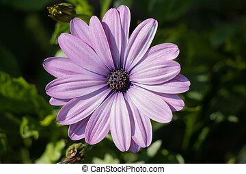 Purple Osteospermum flowering in an English garden on the last day of summer