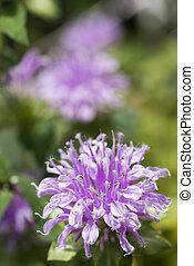 Purple oswego tea flower