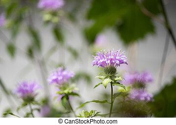 Purple oswego tea flowers