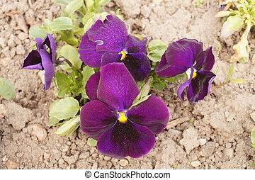 Purple pansies in the park