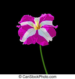 Purple petunia flower isolated on a black background