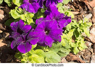 Purple petunia with leaves in the garden