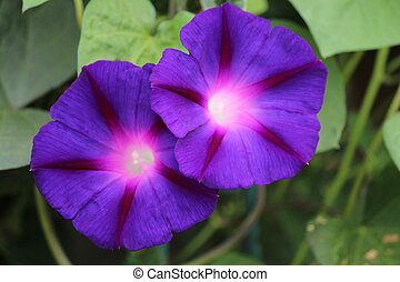 Purple Petunias Glowing in Summer. - Deep indigo petunia...