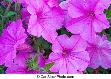 Purple Petunias in Flowerbed