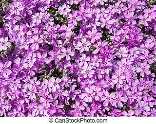 Purple phlox flower - Pink phlox flowers on a garden ...