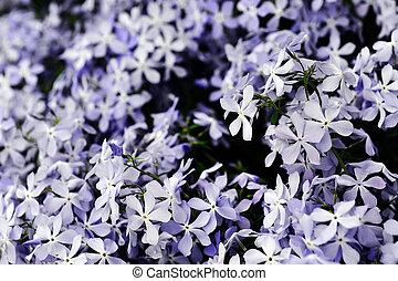 purple phlox subulata