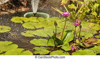Purple pink water Nymphaea in a pond with a fountain. Water garden. Spray droplets.