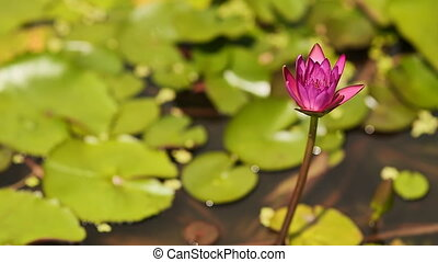 Purple pink water Nymphaea in a pond with a fountain. Water garden. Beautiful flower. Asia.