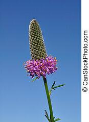 Purple Prairie Clover (Dalea purpurea) Wildflower Against a Blue Sky