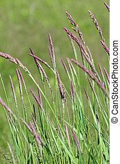 Purple prairie grass