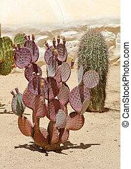 Purple prickly pear cactus in a southern Arizona garden