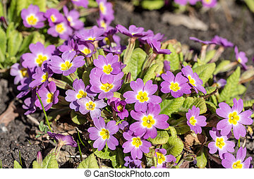 purple primrose in a spring
