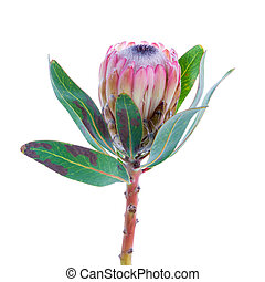 Protea flower on a white background