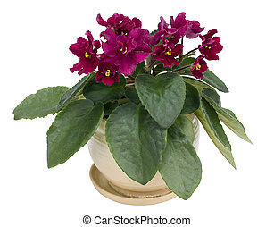 Purple rare violets isolated - Rare indoor flowers- purple...