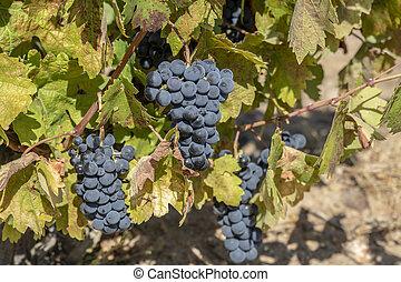 purple red grapes on the vine in Toro, Zamora, Spain. fresh...