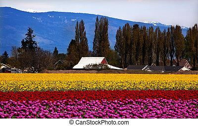 Purple Red Yellow Tulips Flowers Skagit Valley Washington State