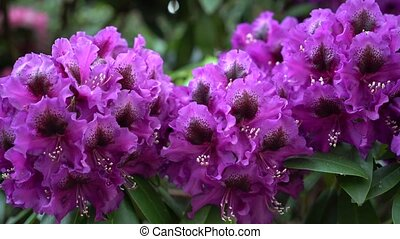 Purple rhododendron flowers on a beautiful background.. Color correction.