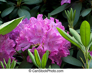 Rhododendron - Purple Rhododendron surrounded by foliage