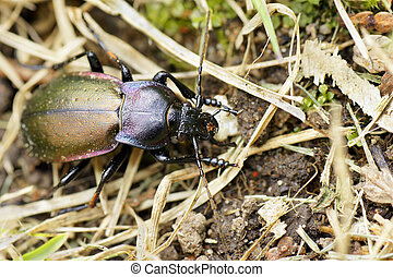 Purple-rimmed carabus beetle top view - Looking at the ...