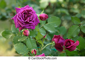 Purple Rose Flower with Green Leaves in the Garden