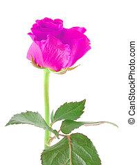 purple rose on white