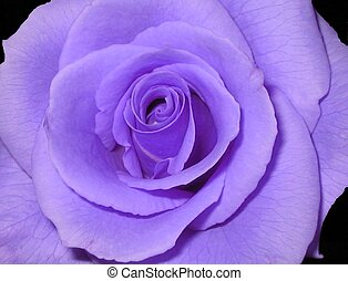 Purple rose - Played with the hue and saturation to create...