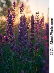 Purple Sage bush close up background