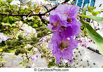purple sakura with branch and green leaf