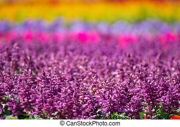 Beautiful purple, red and pink salvia flowers background