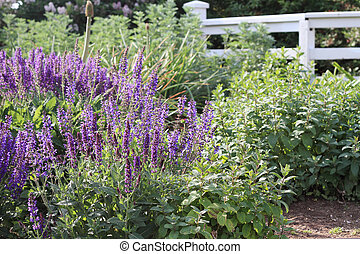 Purple Salvia - Beautiful salvia growing in a cottage...
