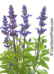 Purple salvia nemorosa plant on white background
