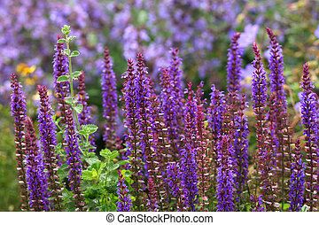 Purple salvia plants, shallow DOF
