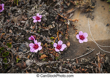 Purple saxifrage blossoming in the summer - Purple saxifrage...