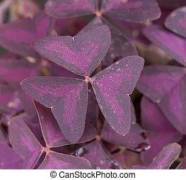 Purple Shamrock Flowers in the Garden