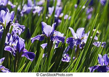 Siberian Iris flower  - Purple Siberian Iris flower close up