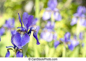 Purple siberian iris flower